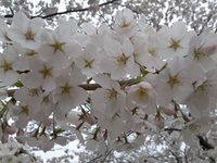2012sakura5.jpg