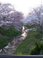 2012sakura6.jpg